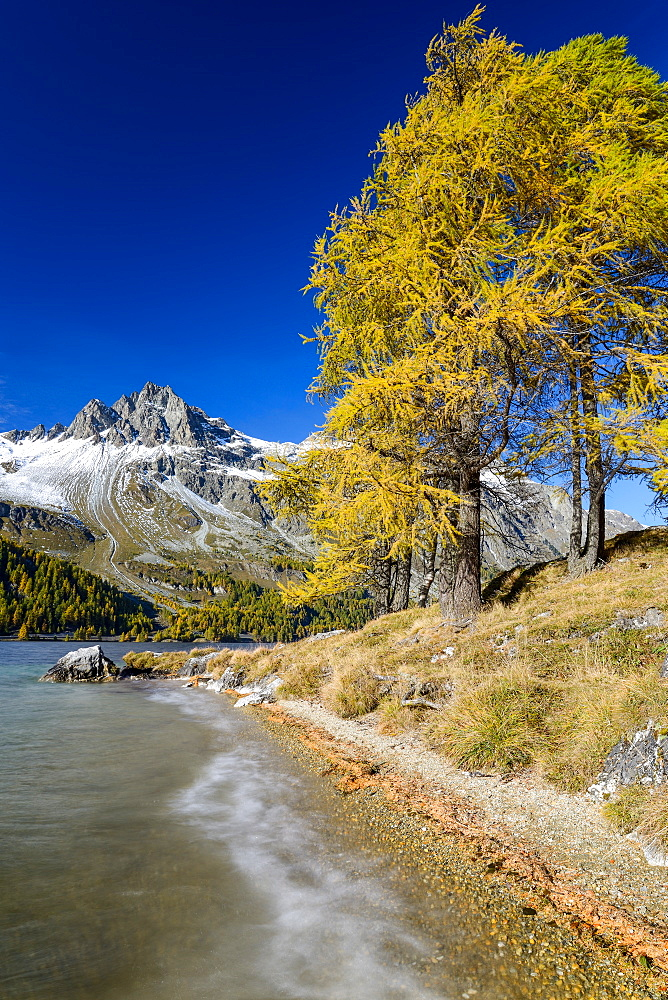 Golden larches along the shore of Lake Sils with Piz Lagrev (3164 m), Engadin, Grisons, Switzerland