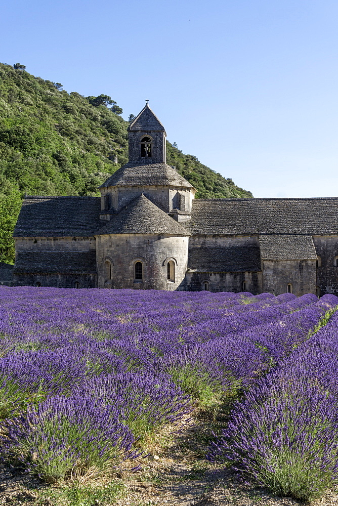 lavender field in front of the Abbaye de Senanque abbey, near Gordes, the Vaucluse, Provence-Alpes-Cote d'Azur, France