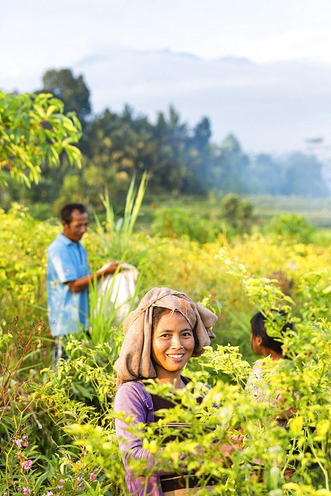 Farmers picking chilies, Sidemen, Bali, Indonesia