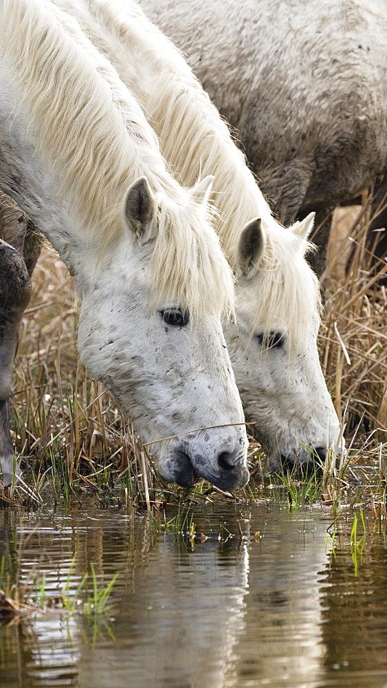 Camargue horses drinking, Camargue, France