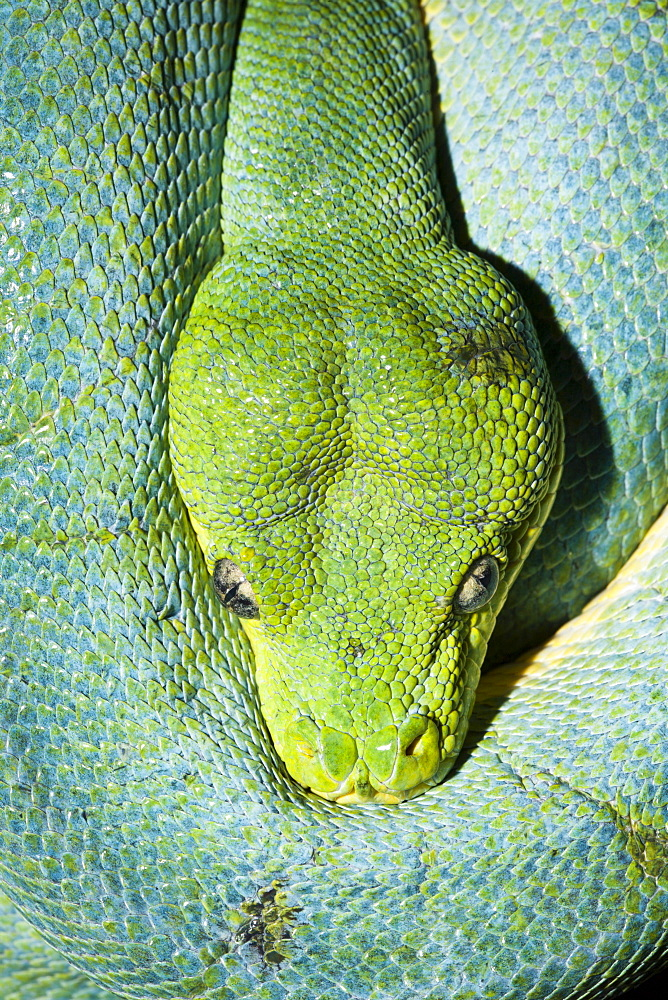 Green Tree Python, Morelia viridis, Indonesia, West Papua, Misool