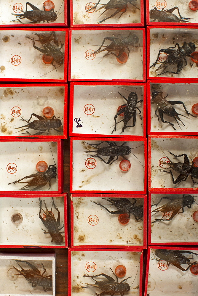 Display case with crickets at the market, Shanghai, China, Asia
