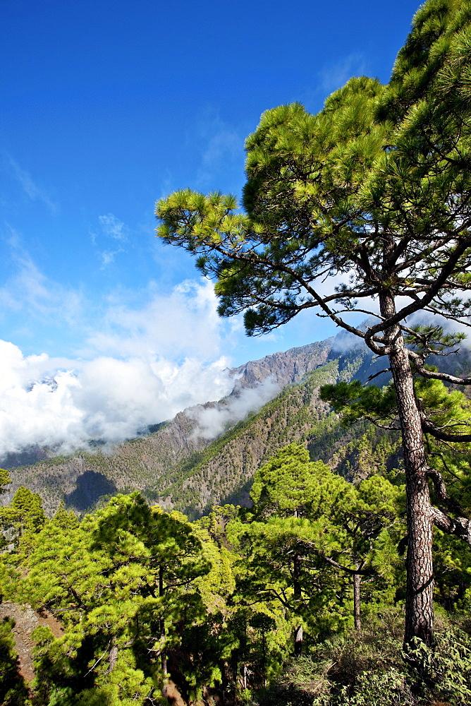 Pine trees and mountains under blue sky, Caldera de Taburiente, Parque Nacional de Taburiente, La Palma, Canary Islands, Spain, Europe