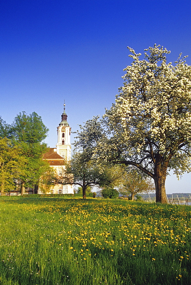 Blooming pear in front of pilgrimage church of Birnau abbey, Lake Constance, Baden-Wurttember, Germany