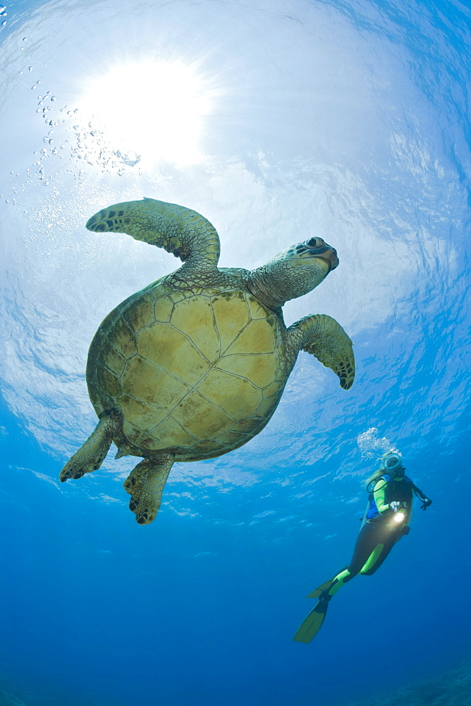 Green Turtle and Diver, Chelonia mydas, Maui, Hawaii, USA