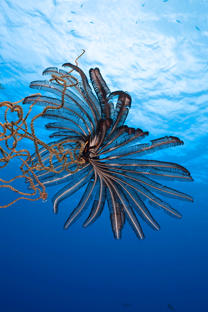 Crinoid sitting on Wire Coral, Siaes Wall, Micronesia, Palau