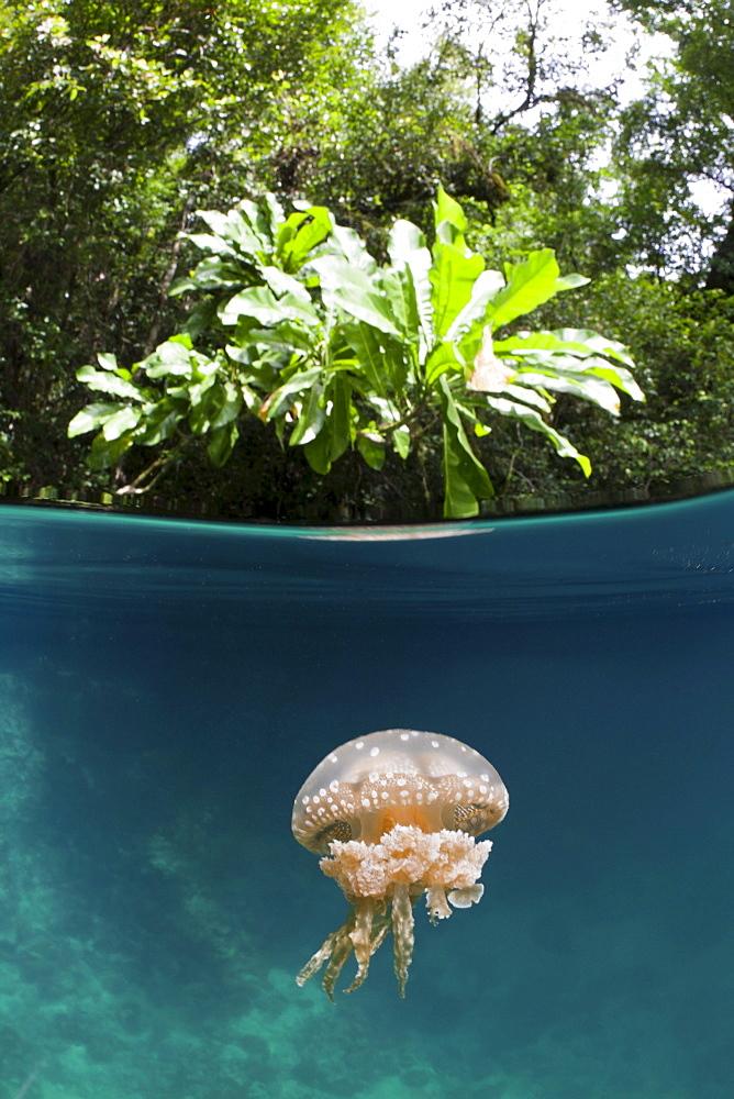 Mastigias Jellyfish, Matigias papua, Risong Bay, Micronesia, Palau