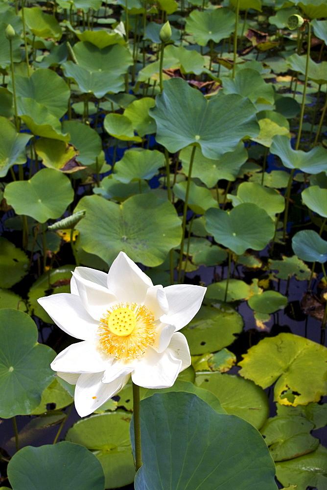 High quality stock photos of lotus flower nymphea lotus flower tank in sir seewoosagur ramgoolam royal botanical garden of pamplemousses mauritius mightylinksfo