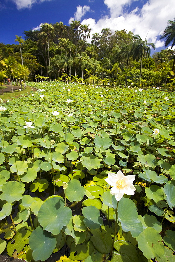 High quality stock photos of lotus flower mauritius africa nymphea lotus flower tank in sir seewoosagur ramgoolam royal botanical garden of pamplemousses mightylinksfo