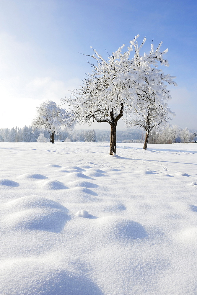 Snow covered orchard, Upper Bavaria, Bavaria, Germany