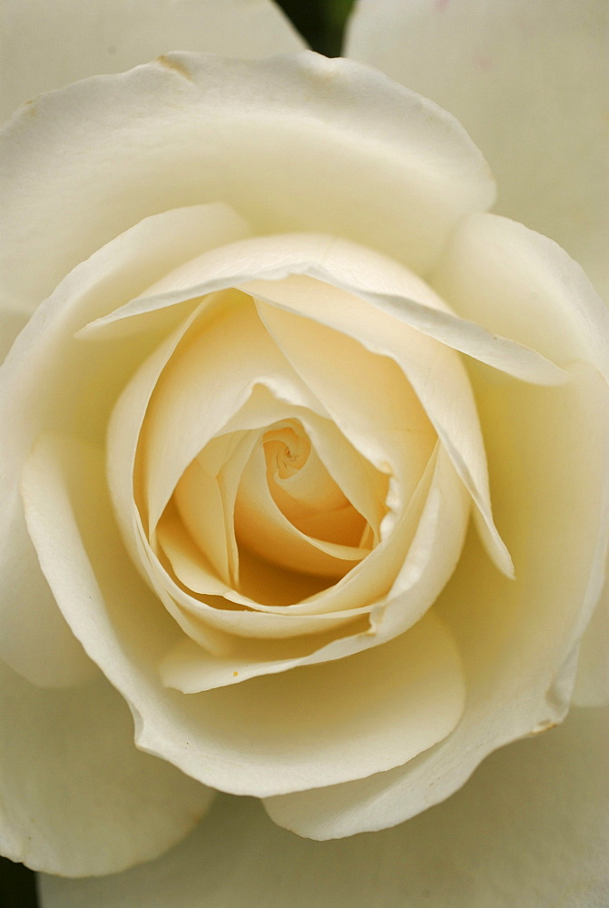 Close up of white rose blossom