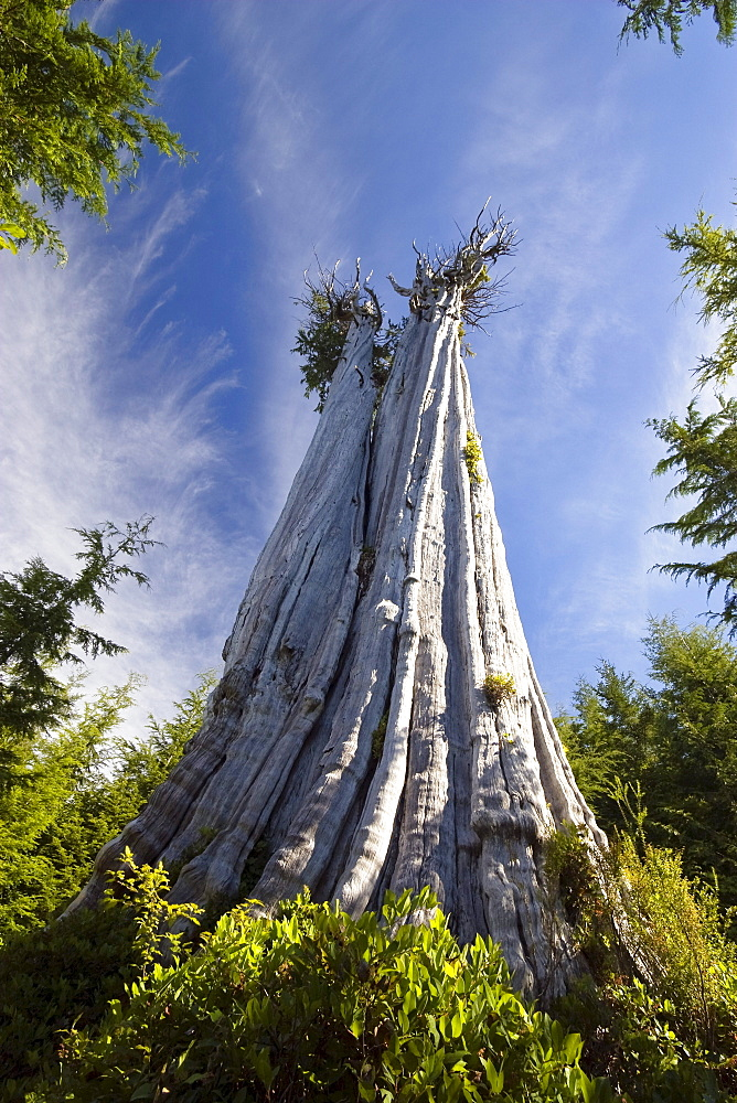 Largest Western Red Cedar Tree in the world, Thuja plicata, Olympic Nationalpark, Washington, USA