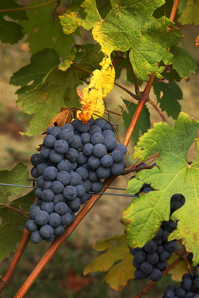 Barolo Grapes, Langhe, Piedmont, Italy