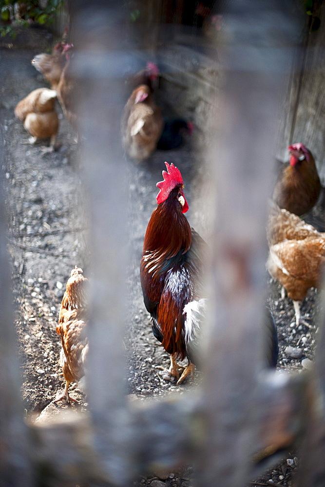 Hens behind the fence, Sindelsdorf, Weilheim-Schongau, Bavarian Oberland, Upper Bavaria, Bavaria, Germany