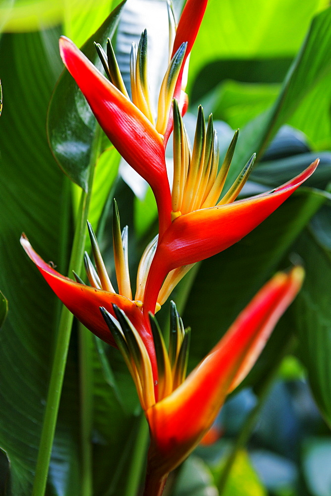 Blossom of a Heliconia, La Reunion, Indian Ocean