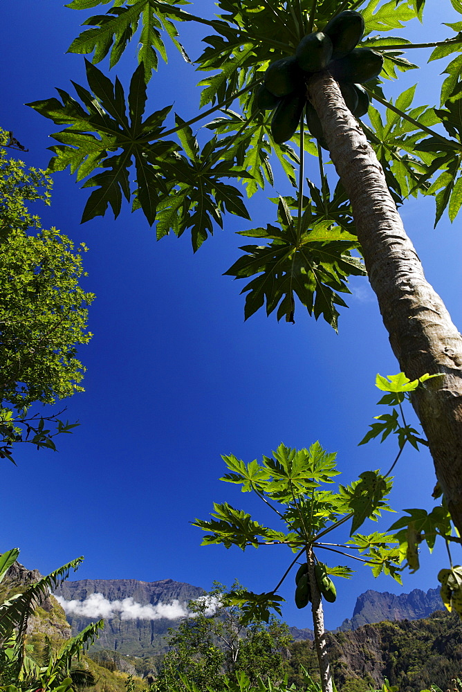 Papaya tree and Piton des Neiges in Cirque de Cilaos, La Reunion, Indian Ocean
