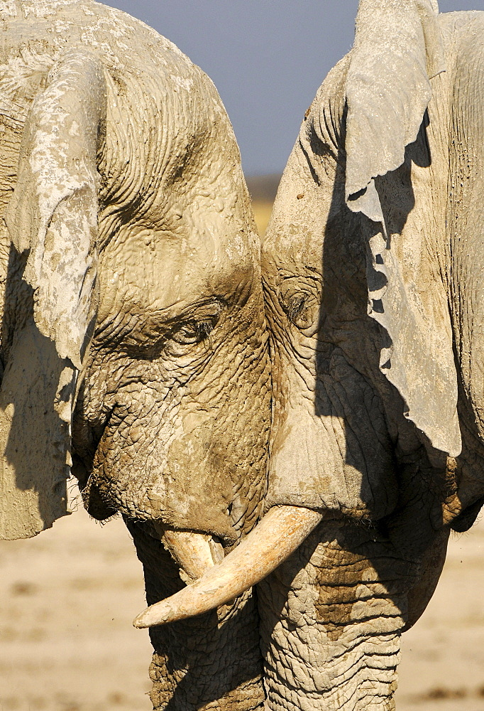 Elephants at Etosha National Park, Namibia, Africa