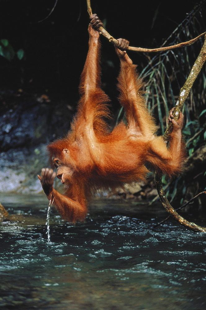 Young Orang-Utan drinking out of Bohorok River, Gunung Leuser National Park, Sumatra, Indonesia, Asia