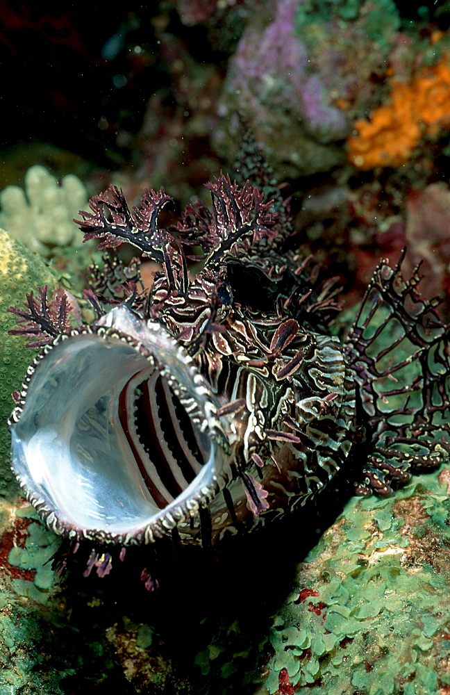 Merlet's scorpionfish, Rhinopia, Rhinopias aphanes