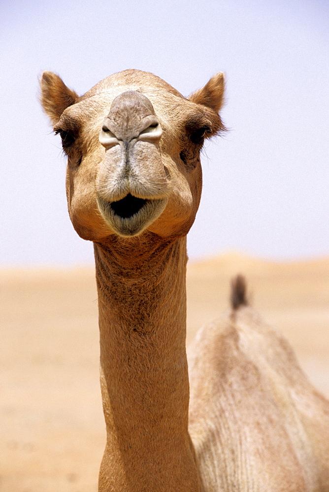 Dromedary, Desert, Dubai, UAE