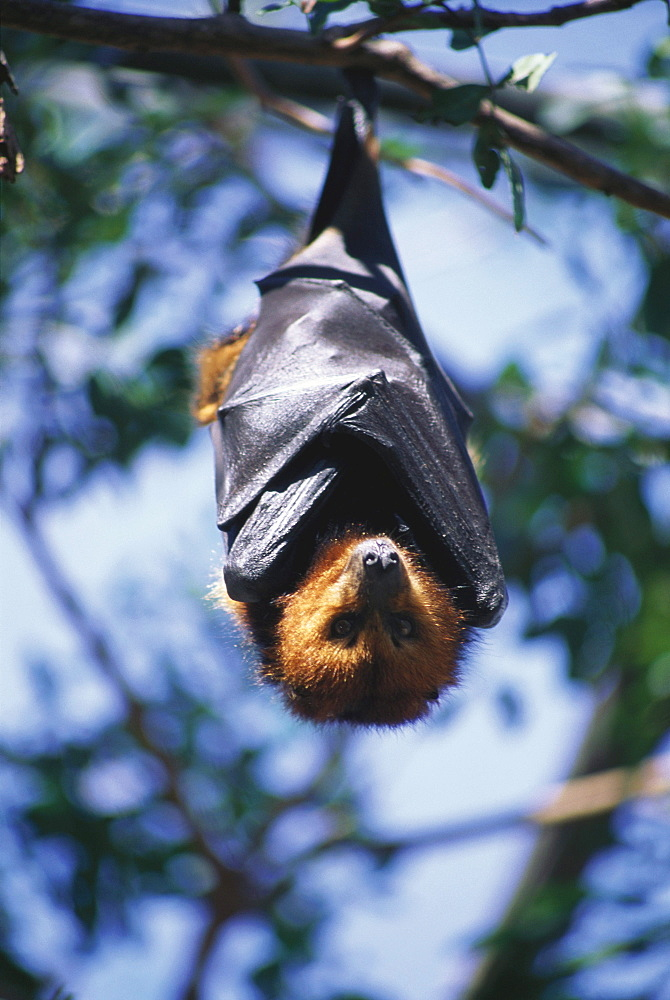 Flying fox hanging on a branch, Casela Bird Park, Mauritius, Africa