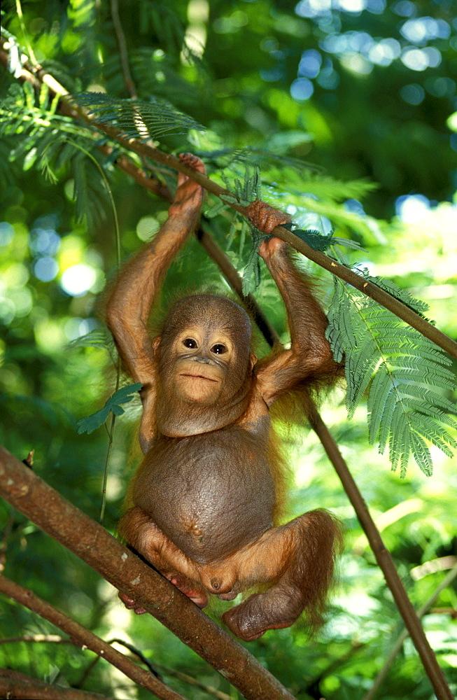 One Orangutan baby, Pongo Pygmaeus, Gunung Leuser National Park, Sumatra, Indonesia, Asia