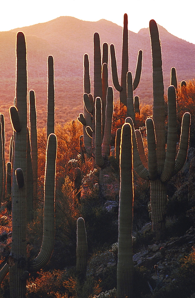 Saguaro cactuses in the evening sun, Sonora desert, Arizona, USA, America