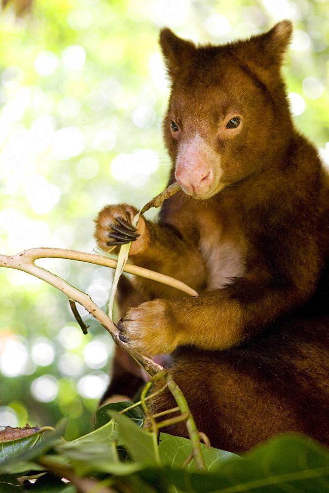Treekangaroo eating leaves, Papua New Guinea, Oceania
