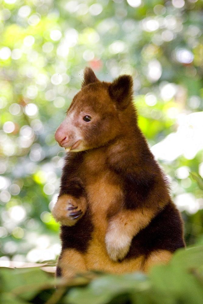 Young treekangaroo eating, Papua New Guinea, Oceania