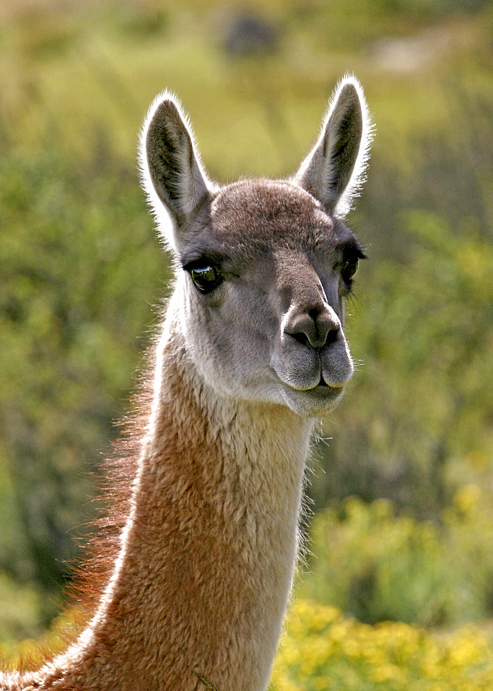 Guanaco in Torres del Paine National Park, Patagonia, Chile, South America