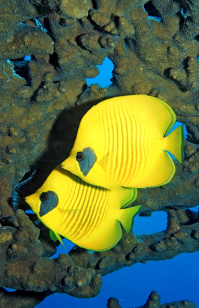 Two Masked Butterflyfishes, Chaetodon semilarvatus, Sudan, Africa, Red Sea