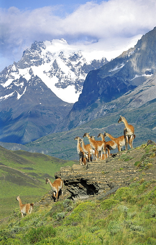 Guanacos, Lama guanicoe, Cuernos del Paine, Paine mountains, Torres del Paine Nationalpark, Patagonia, Chile