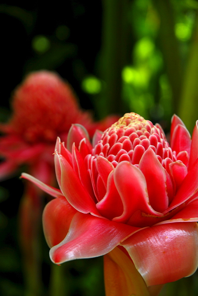 Close up of a blossom, Torch Ginger, in the garden of Hotel Rayavadee, Hat Phra Nang, Krabi, Thailand