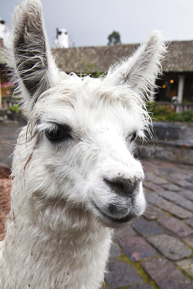 Lama at Hacienda San Augustin de Callo, Andes, Ecuador, South America