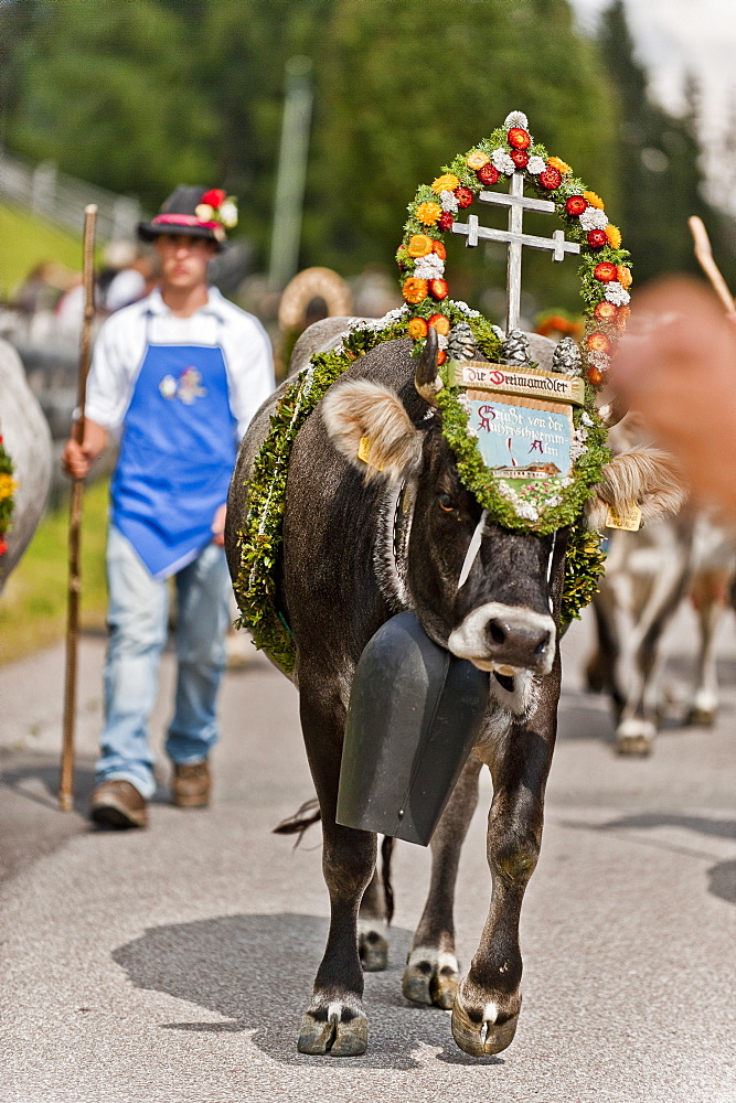 Cow wearing flower decorations, drive from the mountain pastures, Almabtrieb, Ulten valley, South Tyrol, Italy