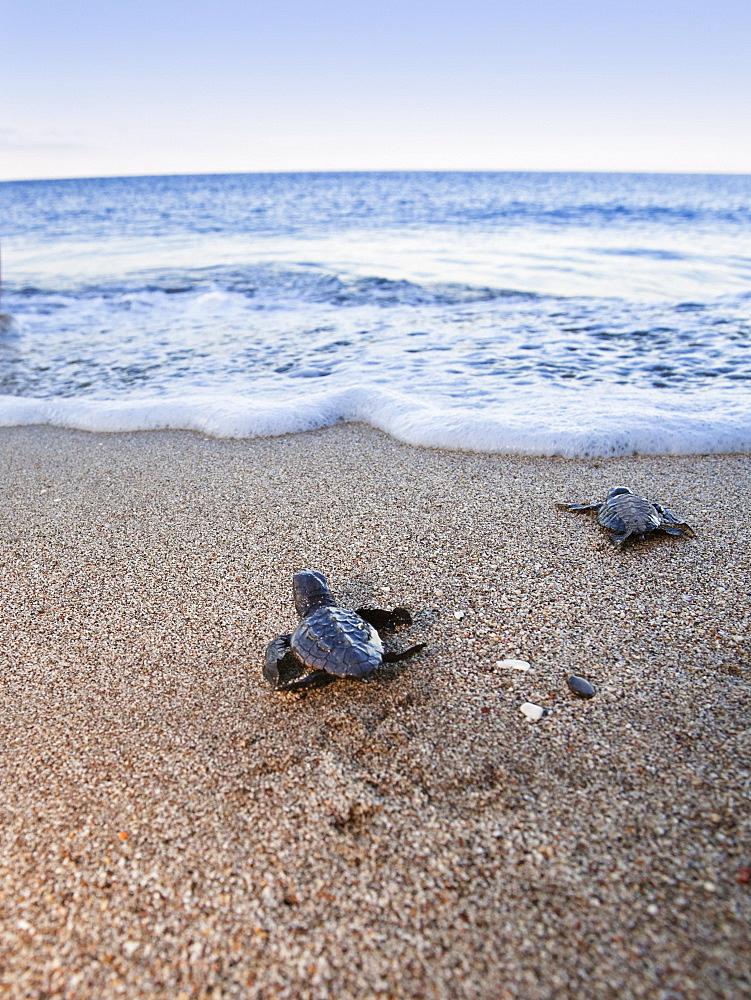 Loggerhead Sea Turtles, hatchlings running to the sea, Caretta caretta, lycian coast, Mediterranean Sea, Turkey