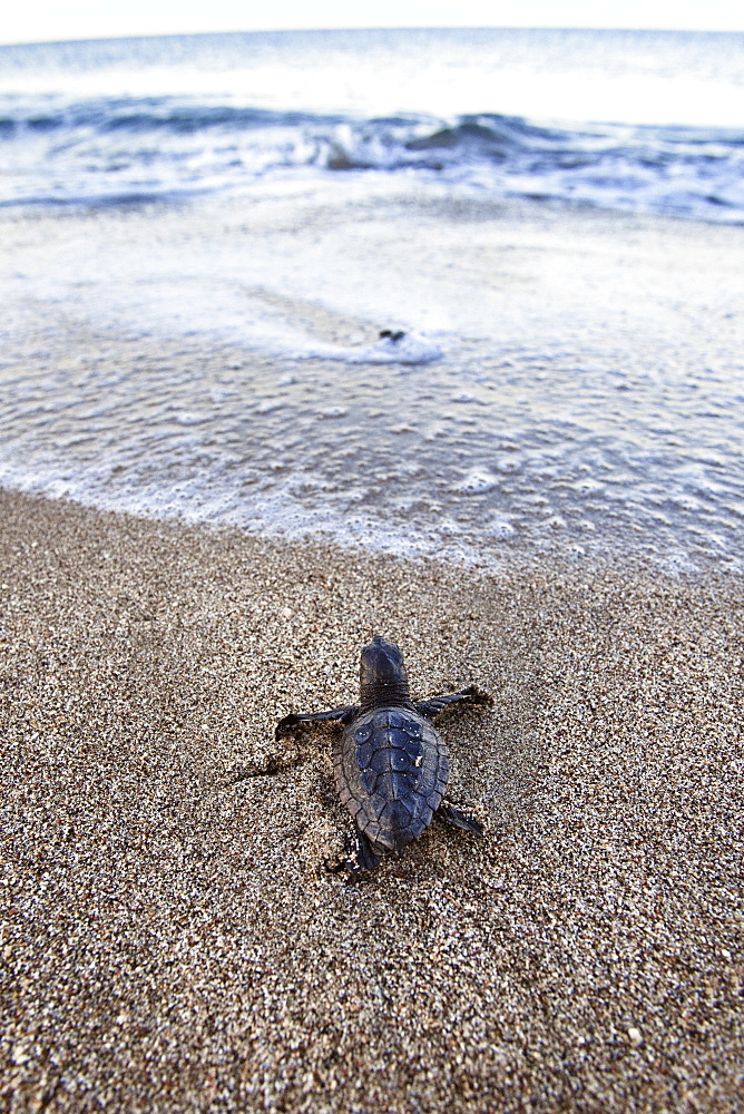 Loggerhead Sea Turtle, hatchling, Caretta caretta, lycian coast, Mediterranean Sea, Turkey
