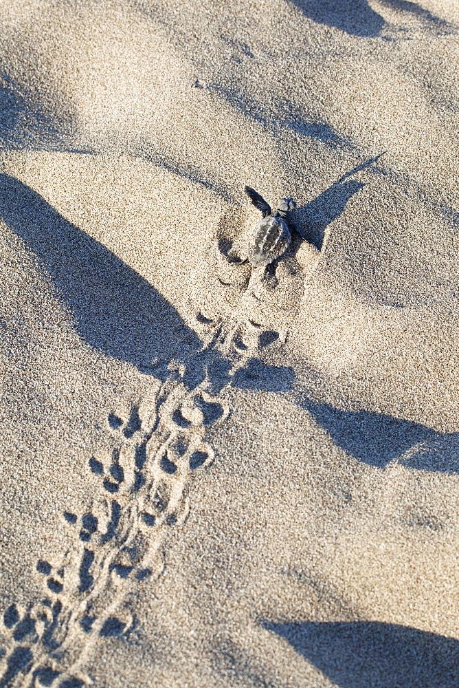 Loggerhead Sea Turtle, hatchling running to the sea, Caretta caretta, lycian coast, Mediterranean Sea, Turkey