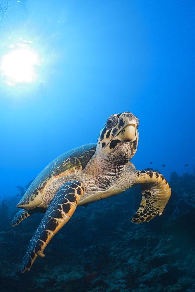 Hawksbill Turtle, Eretmochelys imbriocota, Caribbean Sea, Dominica, Leeward Antilles, Lesser Antilles, Antilles, Carribean, West Indies, Central America, North America
