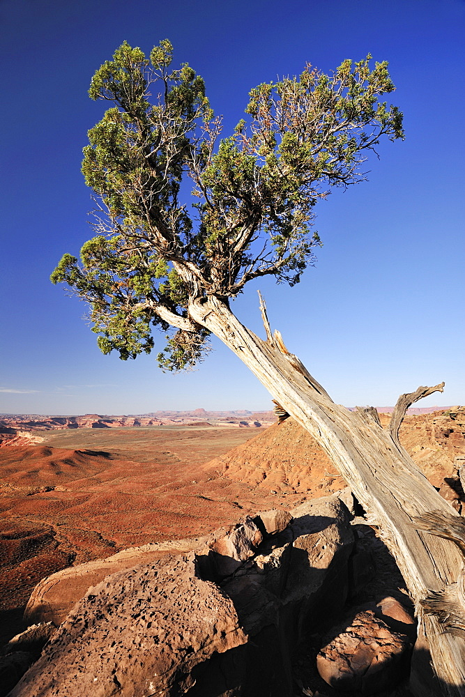 Utah juniper in the sunlight, White Rim Drive, White Rim Trail, Green River, Island in the Sky, Canyonlands National Park, Moab, Utah, Southwest, USA, America