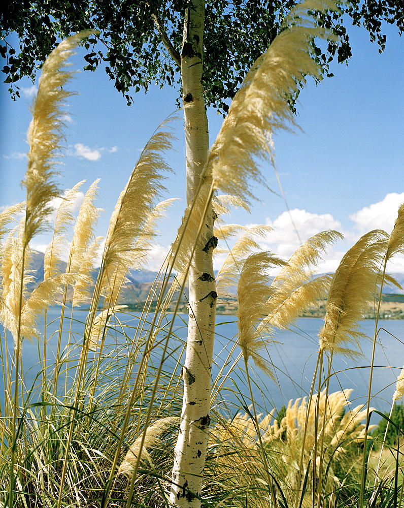 Birch tree in blooming reed on shore of Lake Wanaka, Wanaka, Central Otago, South Island, New Zealand