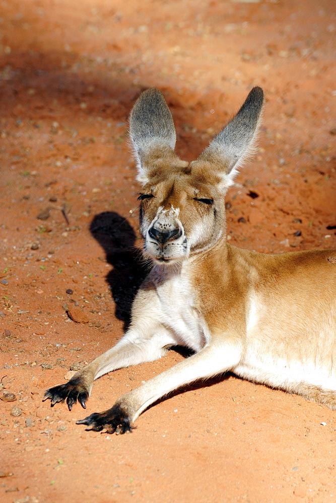 Sleeping kangaroo, Outback, Northern Territory, NT, Australia