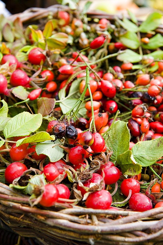 Rose hips in a basket, Harvest