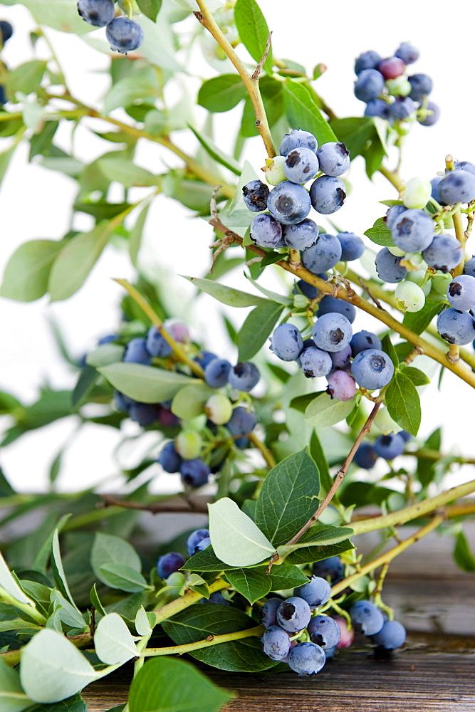 Ripe bilberries, blueberries, ready for picking, harvest, Fruit