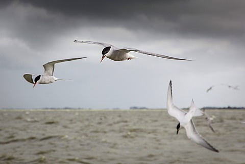 Terns flying above Lake IJssel, Holland, Netherlands, Europe