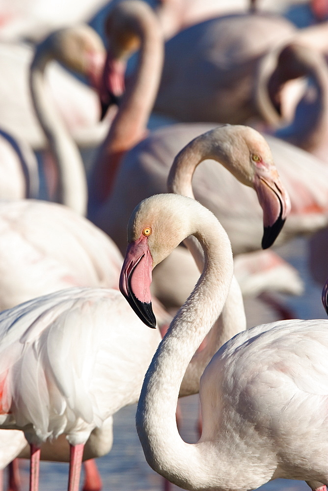 Greater Flamingos in the Camargue, Phoenicopterus roseus, Camargue, France