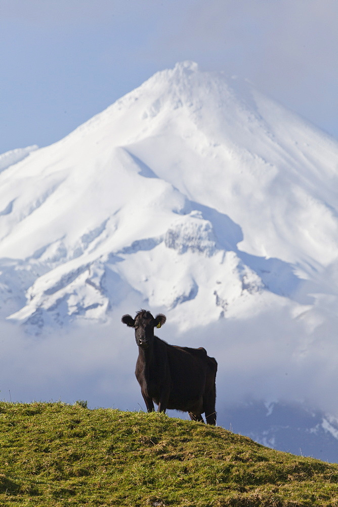 Dairy cow grazing on a meadow in front of the Mt Egmont volcano, Mount Taranaki snow cone, North Island, New Zealand