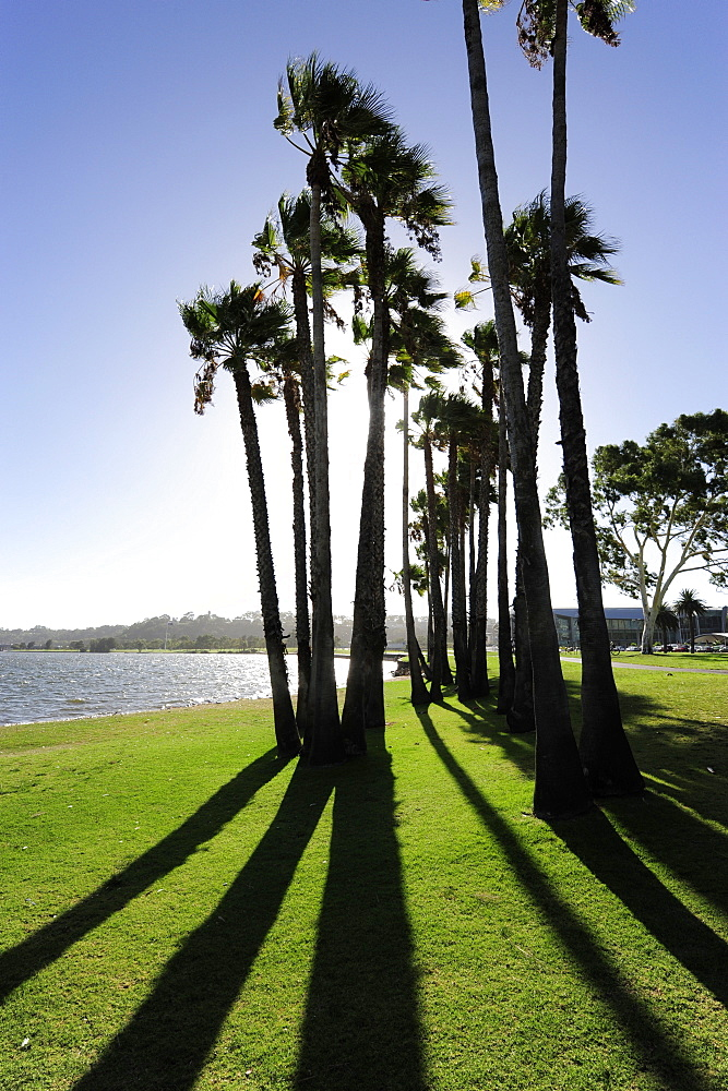 Palm trees at the Swan River, Central City Area, Perth, Western Australia, WA, Australia