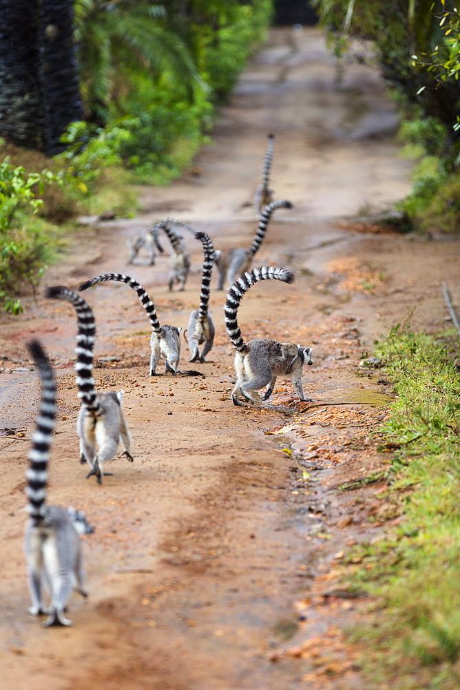 Ringtailed Lemurs, Lemur catta, Nahampoana Reserve, South Madagascar, Africa