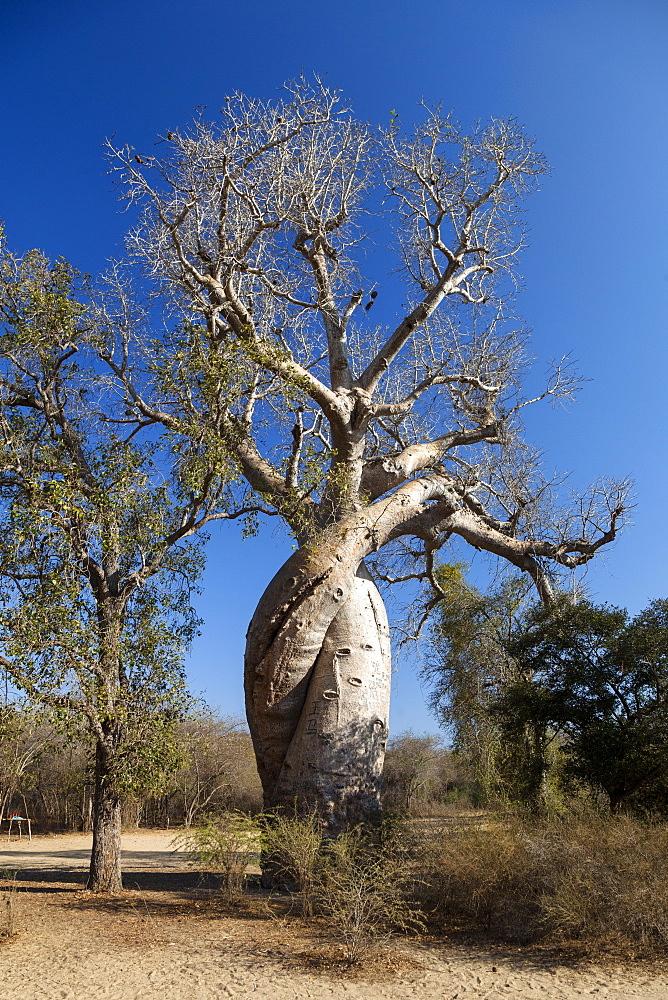Baobabs in love, Adansonia rubrostipa, near Morondava, Madagascar